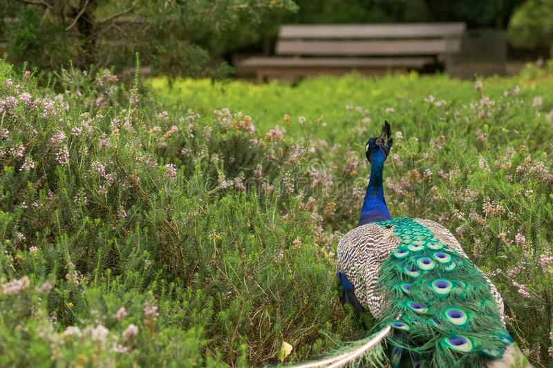 Peacock wandering through a dream field of plants in the botanic. Gardens of Cologne, Germany royalty free stock image