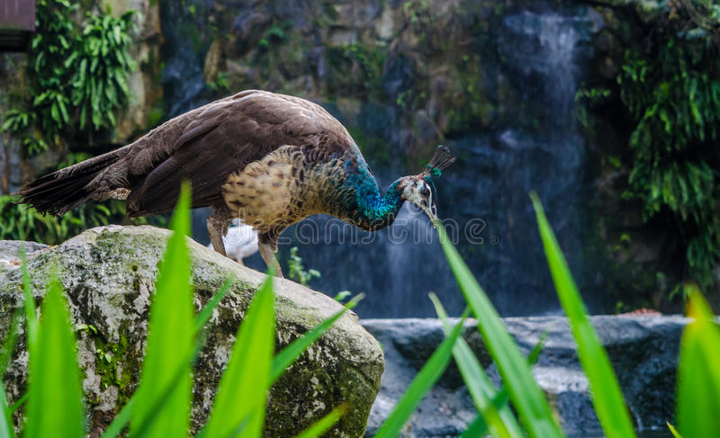 Peacock with waterfall in backdrop royalty free stock photography