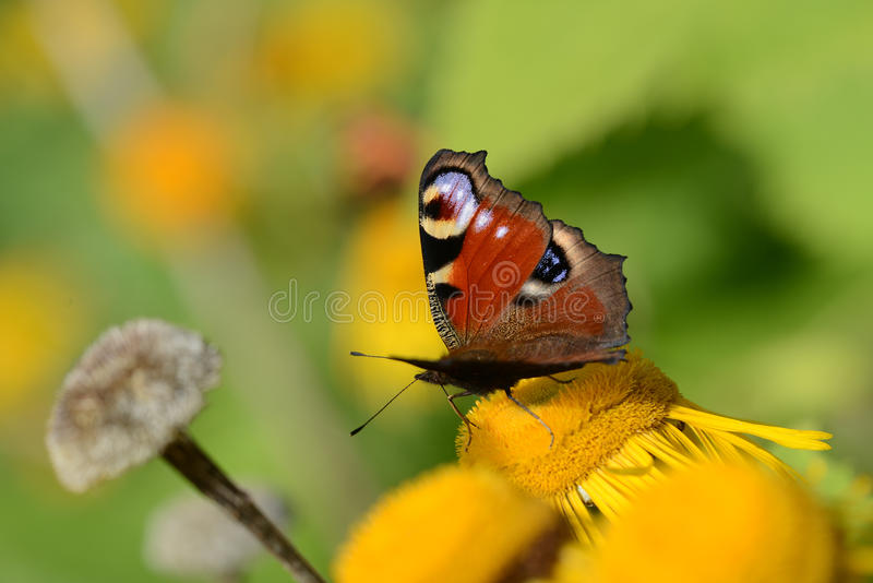 The peacock on a yellow flower. Macro photograph stock photo