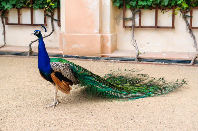 Peacock in a zoo in Prague. Full view of peacock. Zoo in Prague stock photography