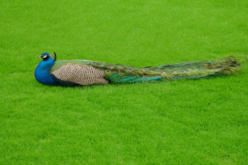 Peacock-Zoological name Pavo cristatus. The Indian peafowl or blue peafowl Pavo cristatus, a large and brightly coloured bird, is a species of peafowl native to stock images