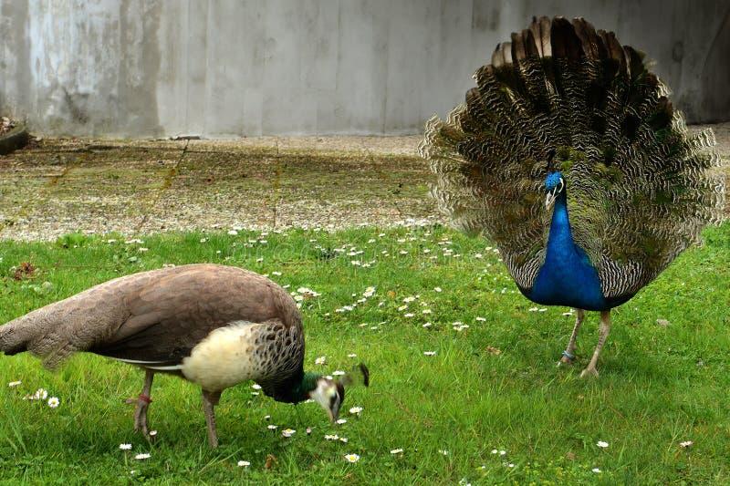 peacocks στοκ φωτογραφία