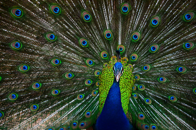 Peacocks. Beautiful big bird And has a long tail spread tail-feathers There are very few people who are aware that there are many kinds of peacocks. Each stock photos