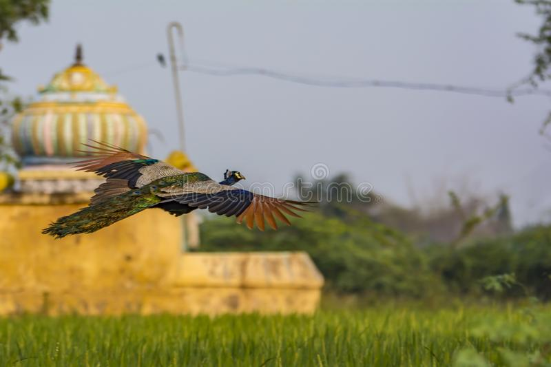 Peacock Flying over a paddy field, with temple in background stock images