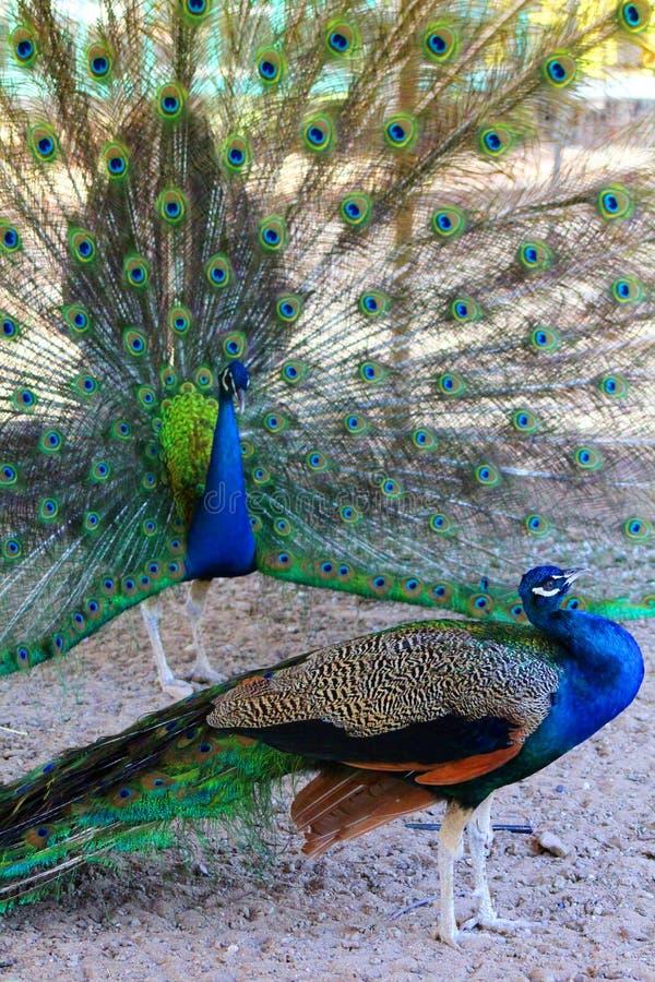 Peacocks. Large beautiful colorful vibrant male peacocks royalty free stock photos