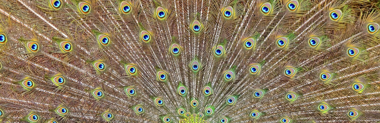 Peacocks tail. Beauty in nature royalty free stock photos