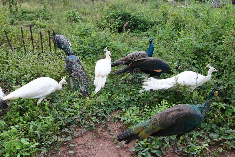 Peacocks use the family name Pavo. To live in dry evergreen and deciduous forest. The species is distributed north of India to the east through Myanmar royalty free stock photos