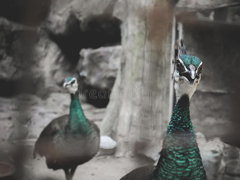 Peacoock στοκ φωτογραφίες