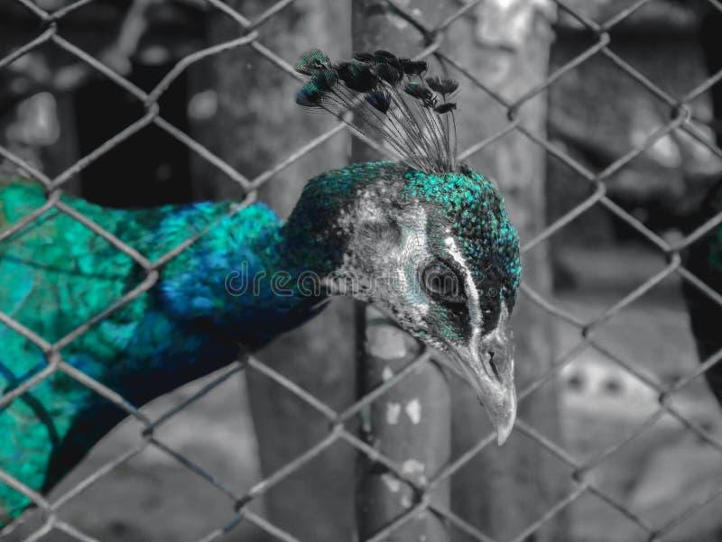 Peacoock στοκ εικόνα