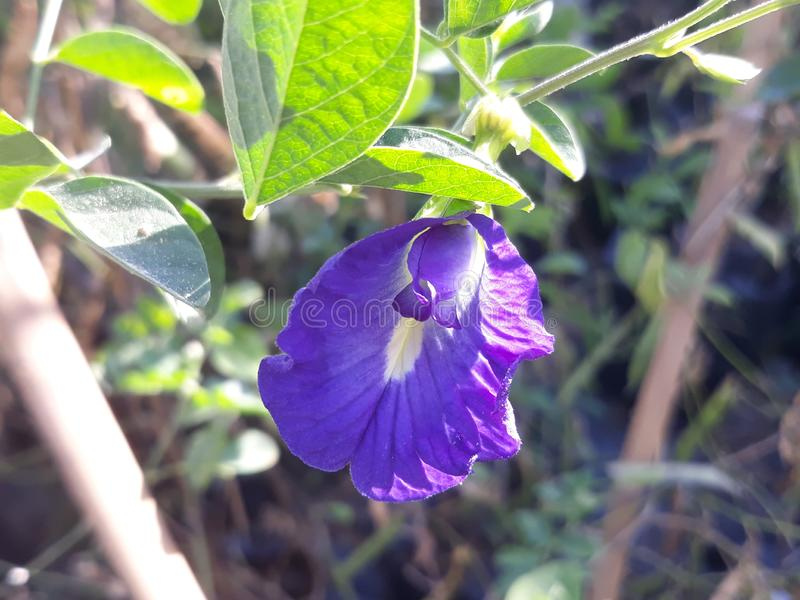Blue butterfly pea stock images