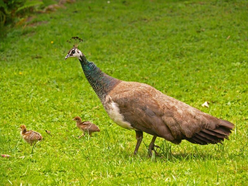 Peafowl stock afbeelding