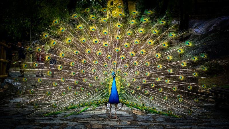 peafowl stock foto's