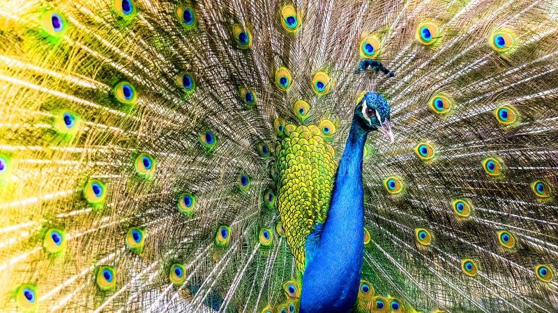 peafowl royalty-vrije stock foto's