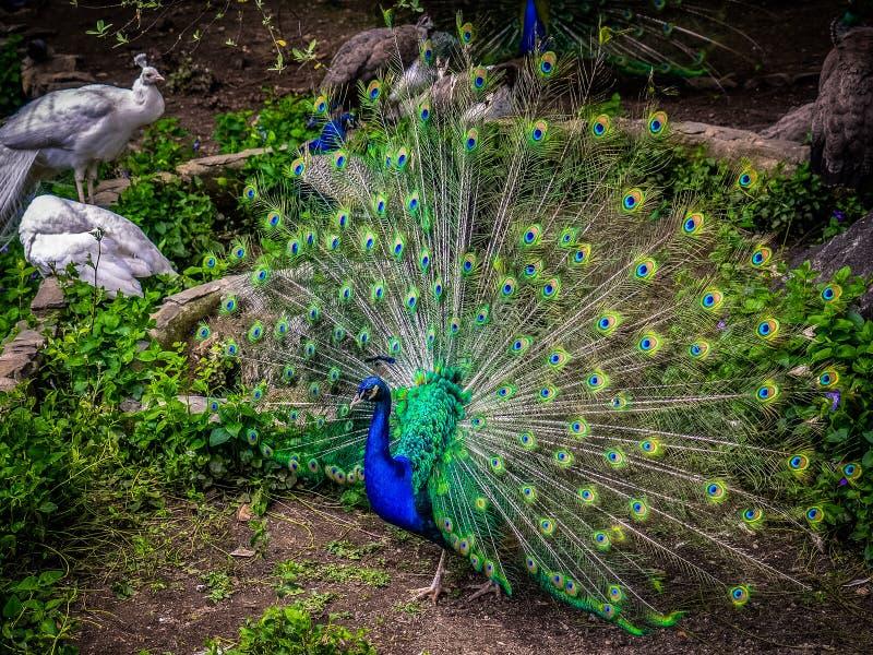 peafowl stock foto
