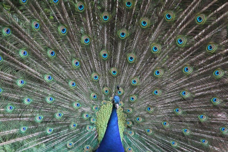 peafowl zdjęcie stock