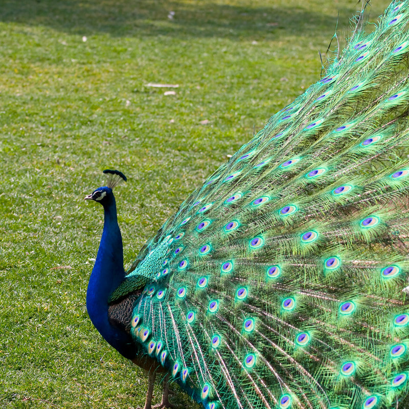Peafowl. The term peafowl can refer to the two species of bird in the genus Pavo of the pheasant family, Phasianidae. They are best known for the male's royalty free stock photos