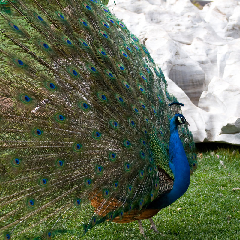Peafowl royalty free stock photography