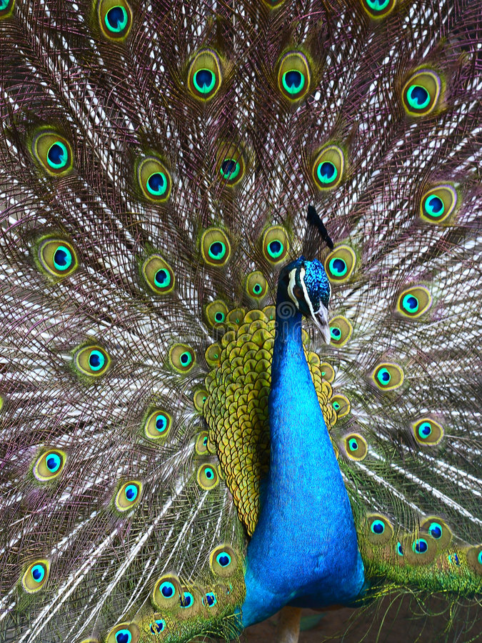 Peafowl. A peafowl is in his pride. Showing its beautiful feather stock photography