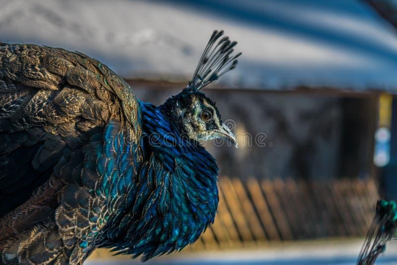 peafowl στοκ φωτογραφία