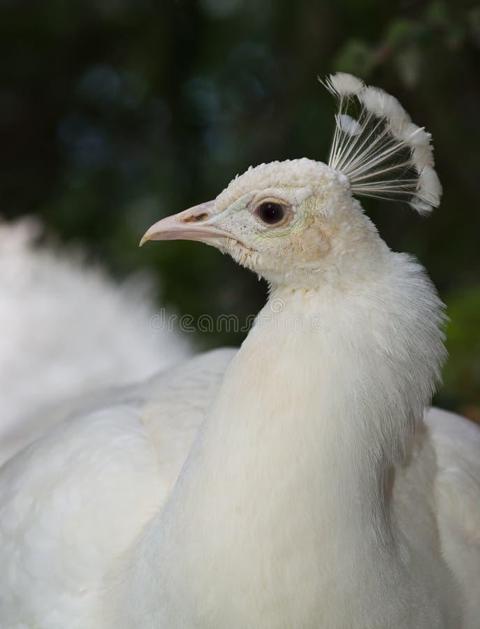 peafowl biel obrazy royalty free