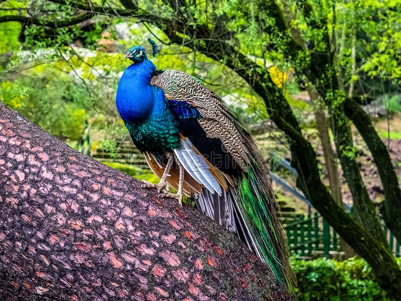 Peafowl. Is a common name for three species of birds in the genera Pavo and Afropavo of the Phasianidae family, the pheasants and their allies. Male  are stock photography