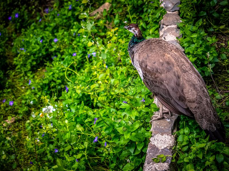 Peafowl. Is a common name for three species of birds in the genera Pavo and Afropavo of the Phasianidae family, the pheasants and their allies. Male  are stock photo
