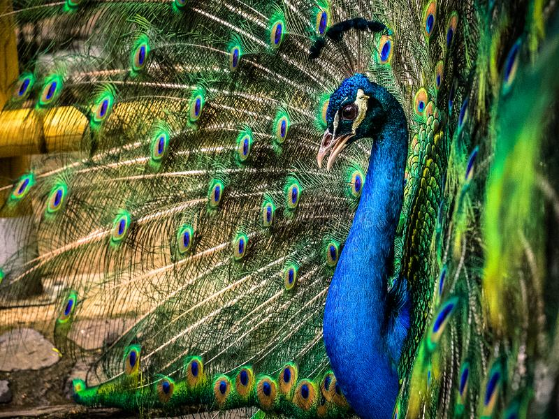 Peafowl. Is a common name for three species of birds in the genera Pavo and Afropavo of the Phasianidae family, the pheasants and their allies. Male  are stock image