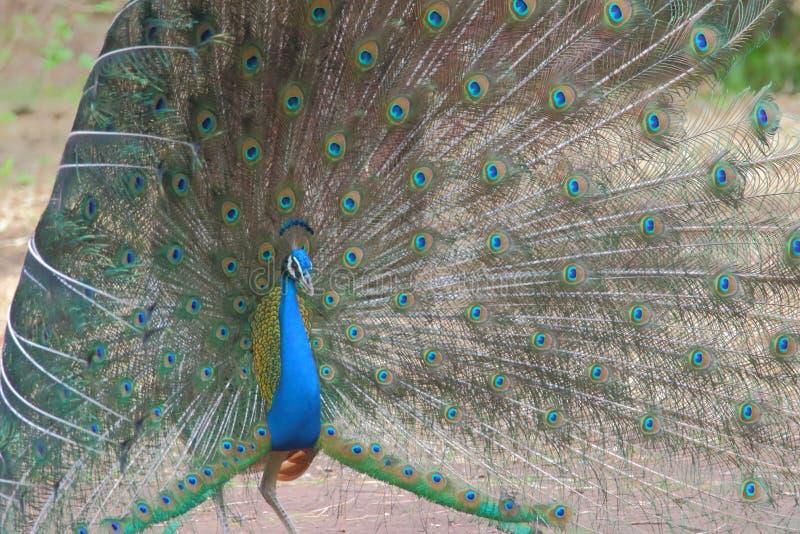 Peafowl dancing stock image