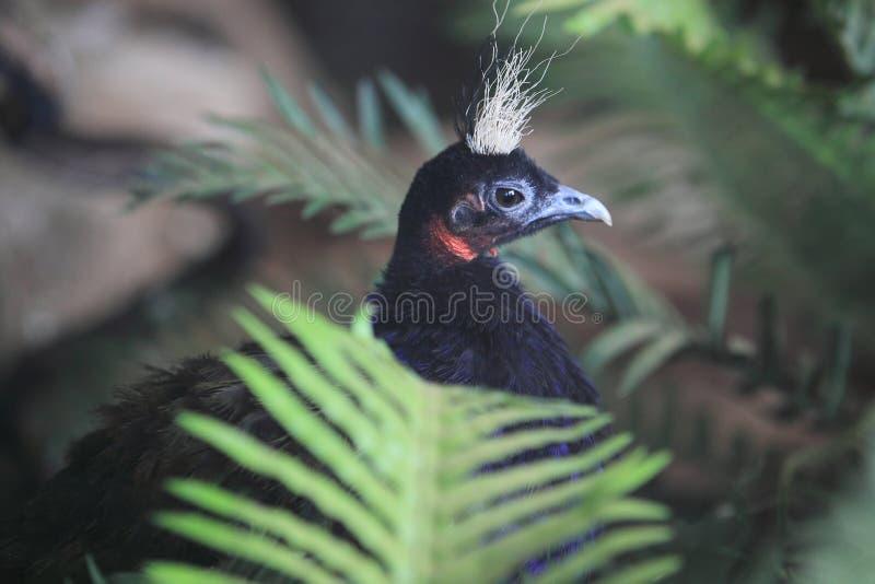 Peafowl de Congo fotos de archivo