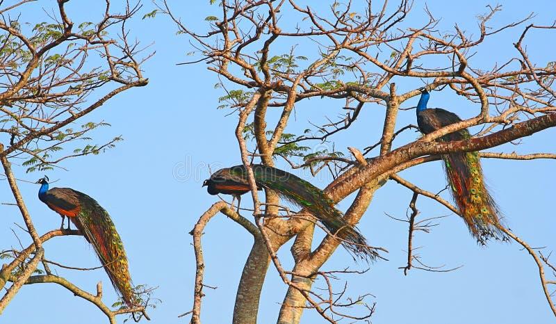 Peafowl de Florida sul fotografia de stock royalty free