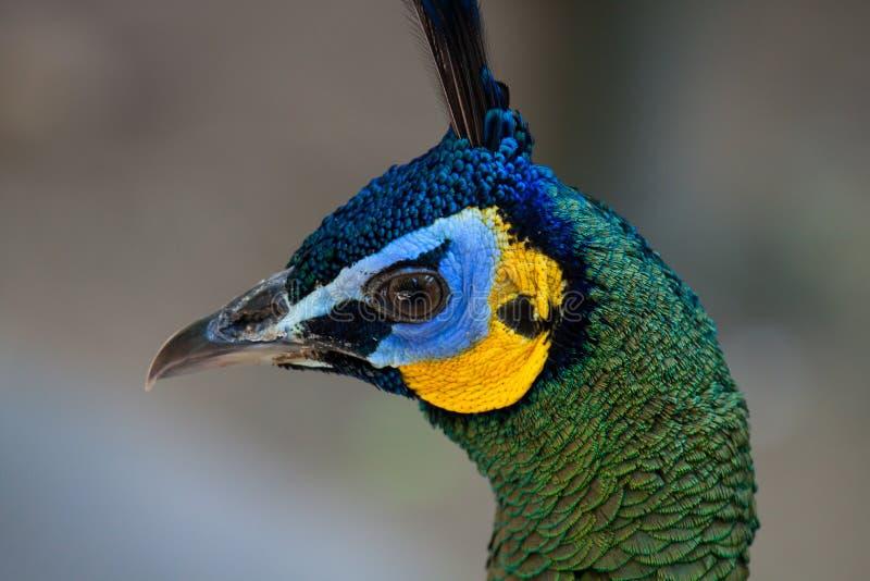 Peafowl de paon avec ses plumes de queue photographie stock