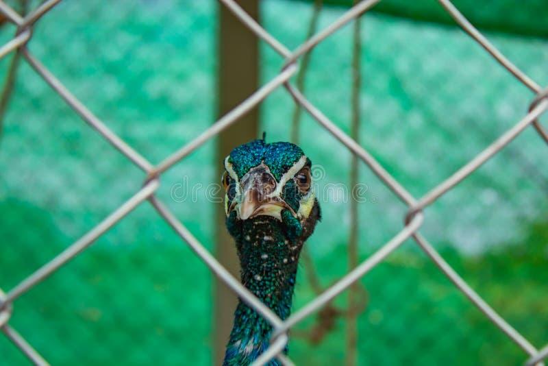 Peafowl do retrato nas gaiolas imagens de stock