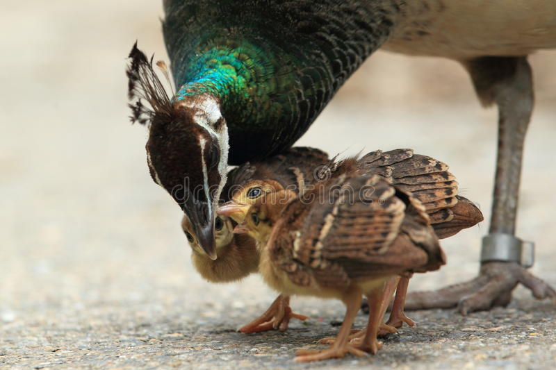 Peafowl family. The trio of peafowl chicks at her mother stock images