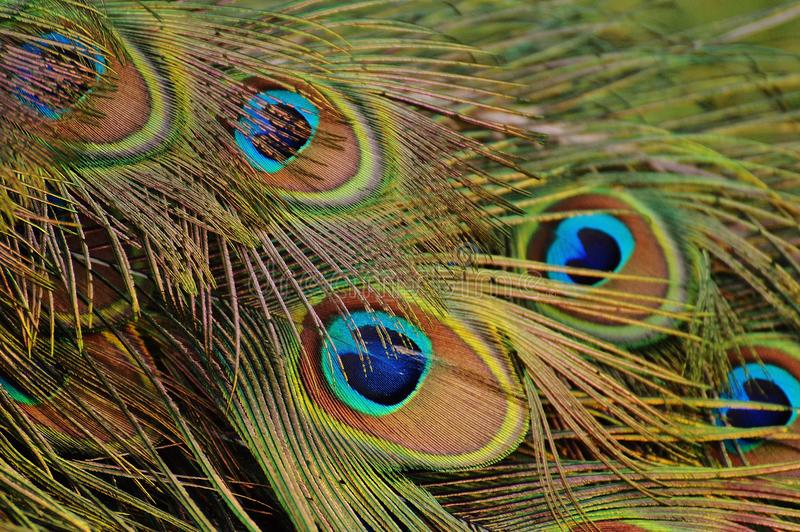Peafowl, Feather, Close Up, Beak stock images