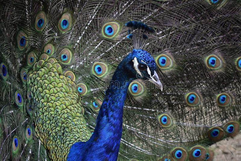 Peafowl. The peafowl include two Asiatic bird species (the blue or Indian peafowl originally of India and Sri Lanka and the green peafowl of Myanmar, Indochina stock photos