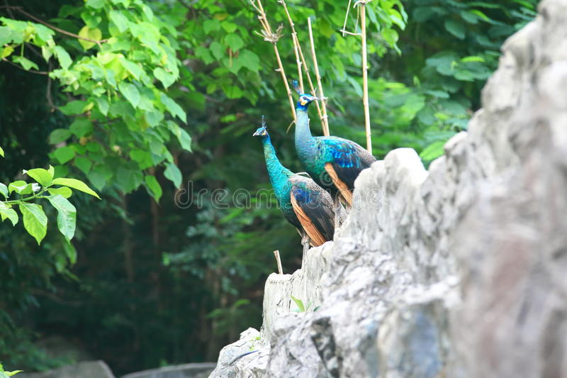 Peafowl. Include two Asiatic species (the blue or Indian  originally of India and Sri Lanka and the green  of Burma, Indochina, and Java) and one African stock photography