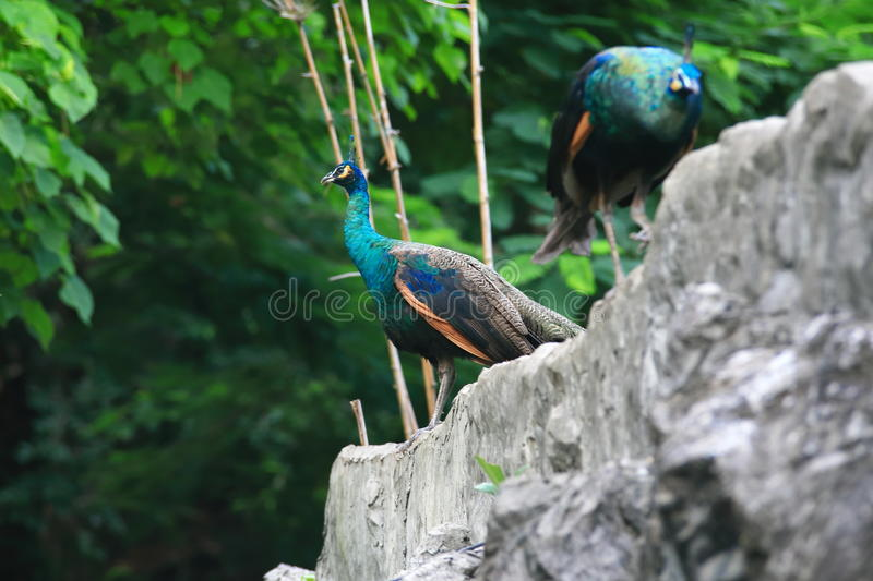 Peafowl. Include two Asiatic species (the blue or Indian  originally of India and Sri Lanka and the green  of Burma, Indochina, and Java) and one African royalty free stock photos
