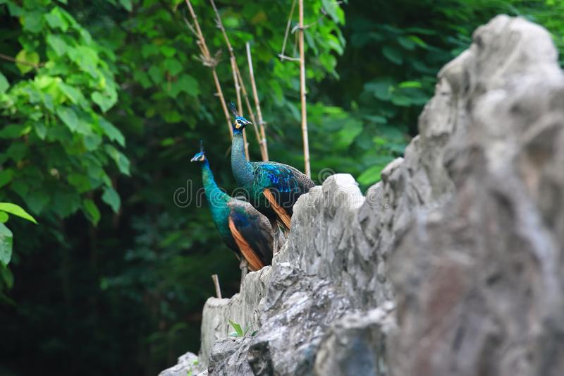 Peafowl. Include two Asiatic species (the blue or Indian  originally of India and Sri Lanka and the green  of Burma, Indochina, and Java) and one African royalty free stock photo