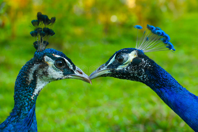Peafowl. Include two Asiatic species (the blue or Indian  originally of India and Sri Lanka and the green  of Burma, Indochina, and Java) and one African stock photo