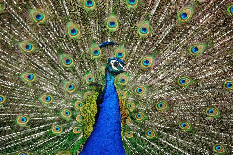 Peafowl indiano (cristatus do Pavo) foto de stock