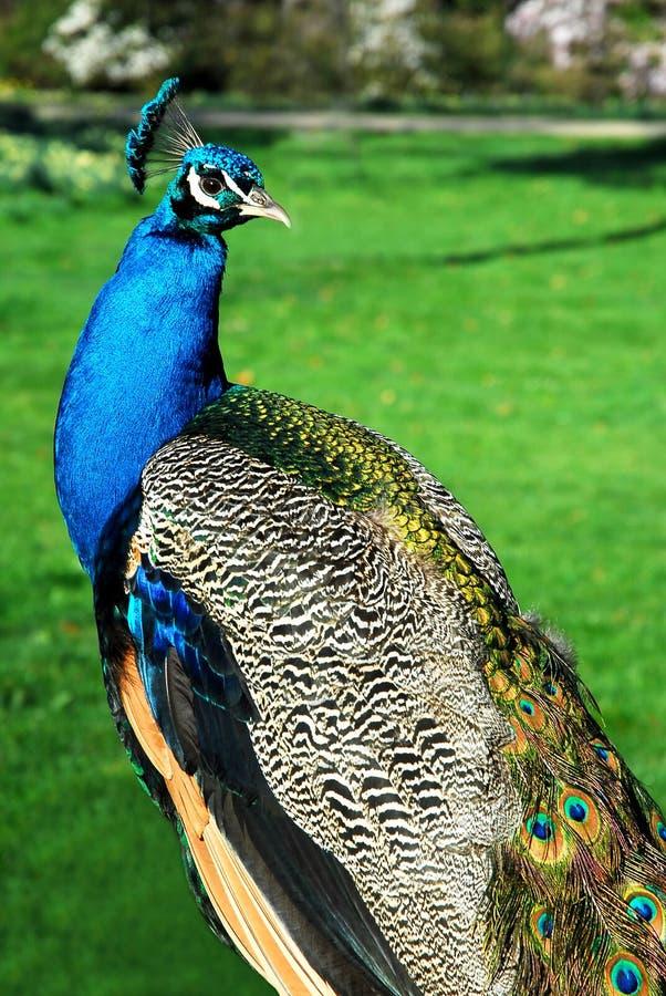 Peafowl indiano masculino imagens de stock