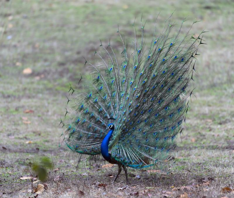 Peafowl indien avec des plumes montrées entièrement image libre de droits