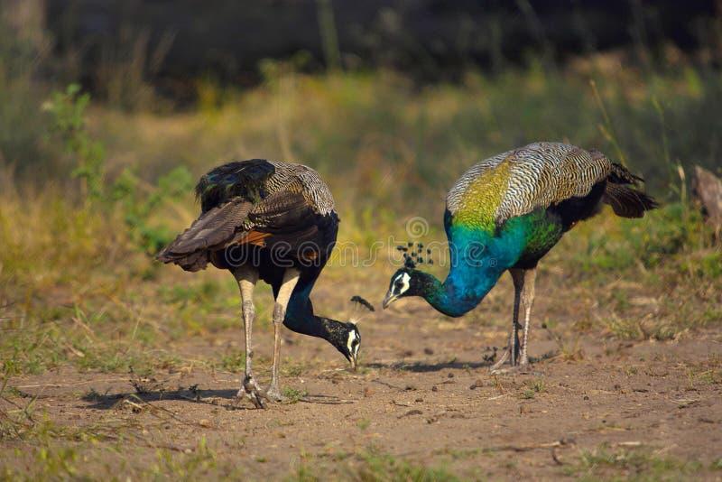 Peafowl indien, peafowl bleu, cristatus de Pavo, Karnataka photo libre de droits