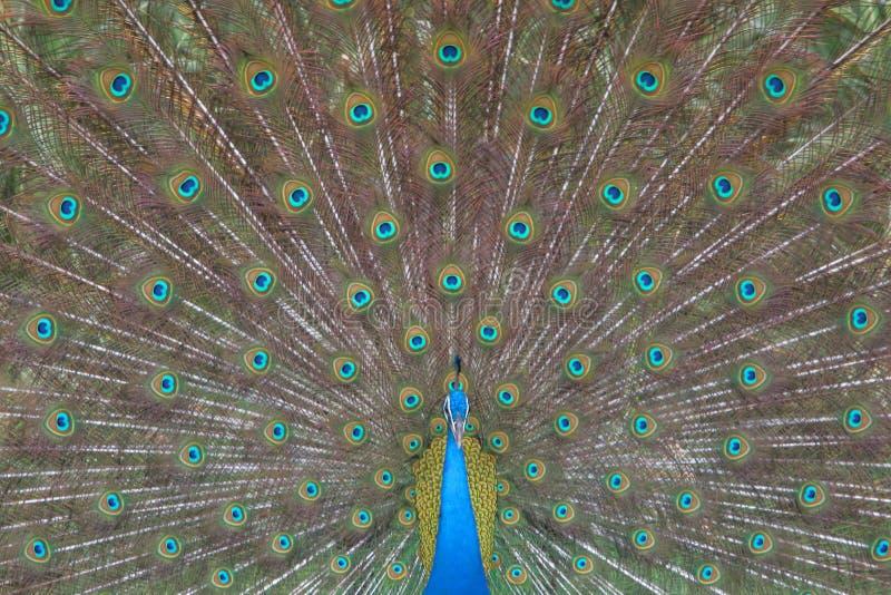 Peafowl nationell fågel av Indien royaltyfri foto
