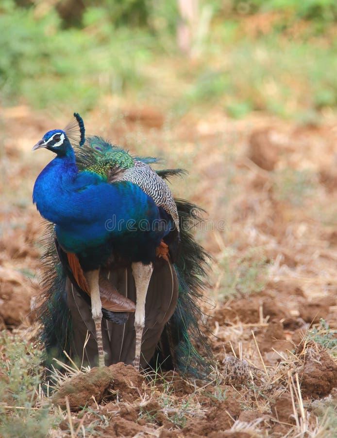 Peafowl nationell fågel av Indien arkivfoto
