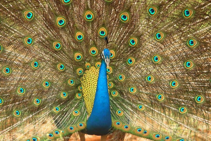 Peafowl nationell fågel av Indien arkivbild