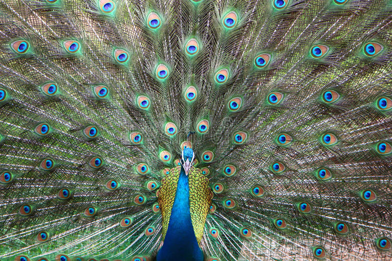 Peafowl in nature. Peacoc tale, colour feathers, india south, bird posing stock photos