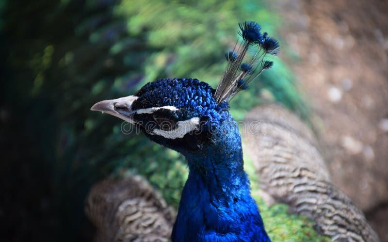 Peafowl - o pavão do termo é reservado corretamente para o homem; a fêmea é sabida como uma pavoa, e a prole imatura é alguma fotografia de stock