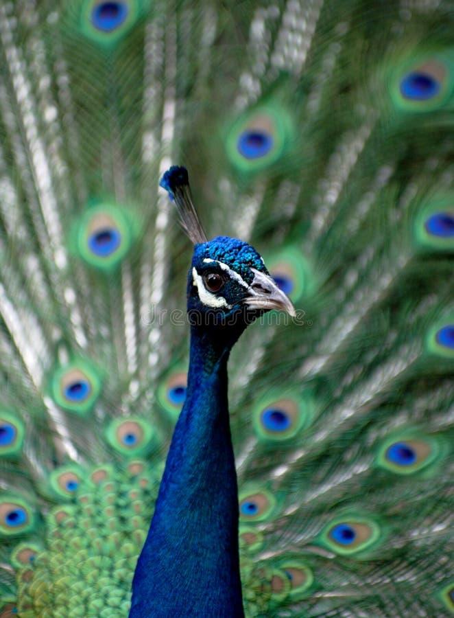 Peafowl - pavo real fotografía de archivo