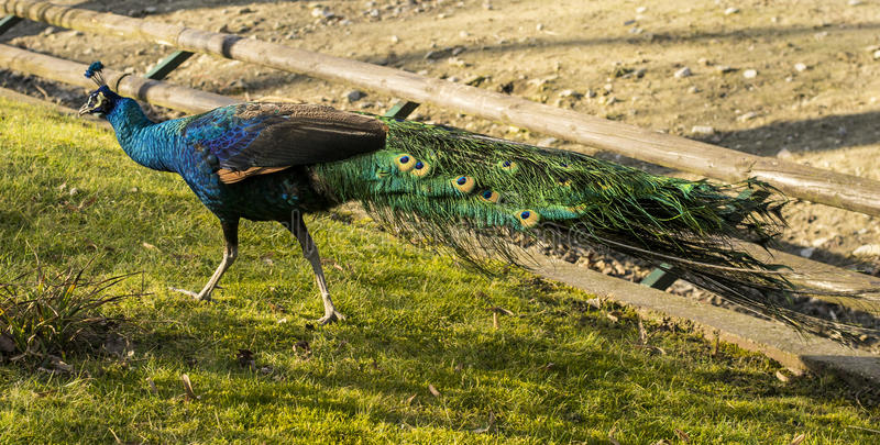 Peafowl (Peacock). Peafowl include two Asiatic species (the blue or Indian peafowl originally of India and Sri Lanka and the green peafowl of Burma, Indochina royalty free stock photo